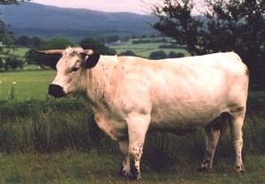 white - ancient cattle of wales