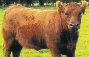 red - ancient cattle of wales