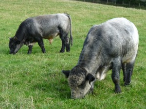 blue ancient cattle of wales