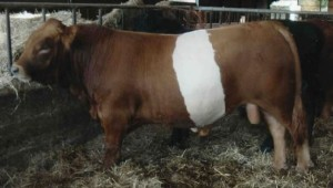 red belted - ancient cattle of wales