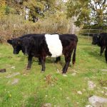 Belted ACW heifers for sale